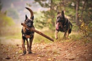 One Belgian Malinois carrying a stick with another dog in hot pursuit.