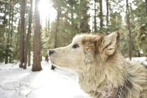 Light-colored wolf dog in a snow-covered forest.