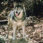 Are Wolf Dogs Safe?