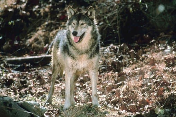 Wolf dog hybrid standing in the woods.