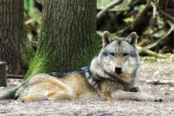 A wolf dog hybrid relaxing at the base of a tree.