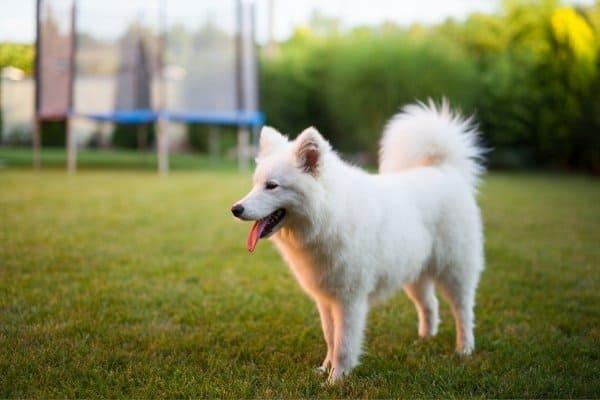 Little, white American Eskimo Dog standing a backyard.