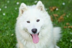 A happy-looking white Samoyed panting while sitting on the grass.