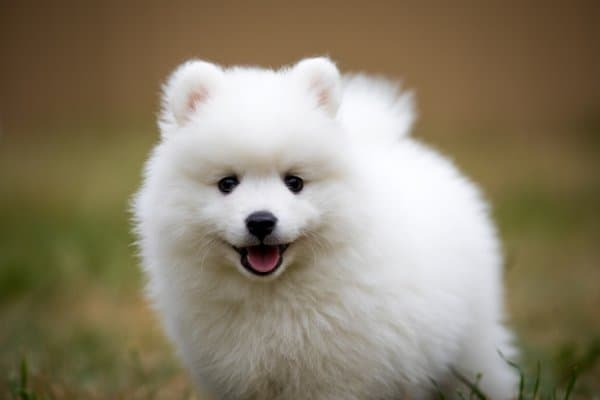 Tiny, fluffy Japanese Spitz puppy.