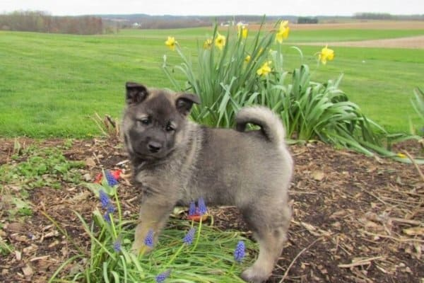 Tiny Norwegian Elkhound puppy staning among colorful flowers.