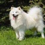 Do Samoyeds Shed a Lot?