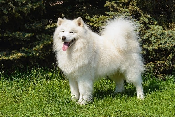 Panting Samoyed standing on green grass.