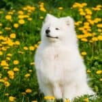 Are All Samoyeds White?