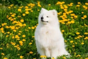 Samoyed sitting in a field of dandelions.