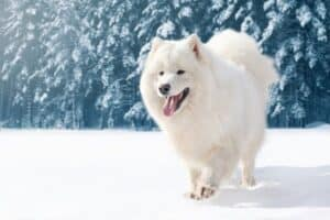 Adult Samoyed walking on fresh snow.