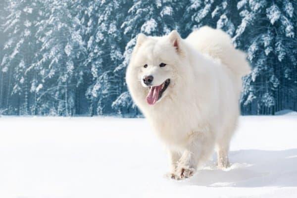 Adult Samoyed walking on fresh snow.