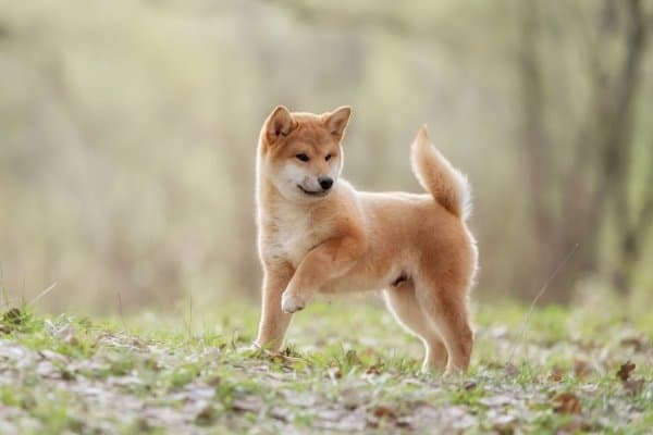 Shiba Inu puppy in the woods holding on foot off of the ground.