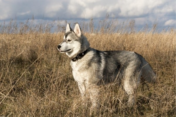 Gray and white Siberian Husky standing in a field of tall, dry grass.