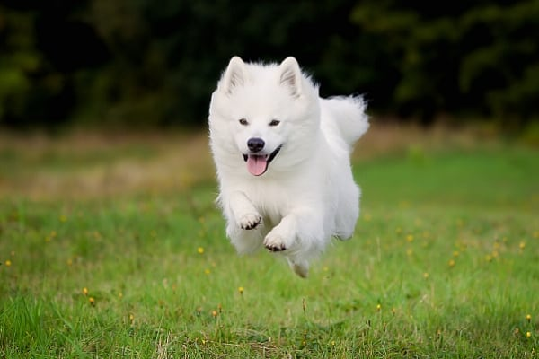 Samoyed puppy dashing across a green lawn.