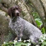 Can German Shorthaired Pointers Live in Apartments?