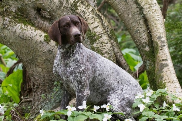 Adult German Shorthaired Pointer sitting in front of a large tree.