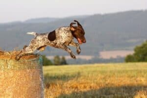 German Shorthaired Pointer jumping off of a round hay bale.