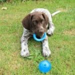 How Much Do German Shorthaired Pointers Cost?