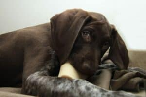 A German Shorthaired Pointer lying on a blanket, chewing a treat stick.