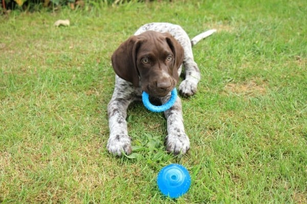 German Shorthaired Pointer puppy playing with a blue ring and a ball in the grass.