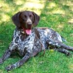 Are German Shorthaired Pointers Good Family Dogs?