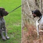 What's the Difference Between a German Shorthaired Pointer and an English Pointer?