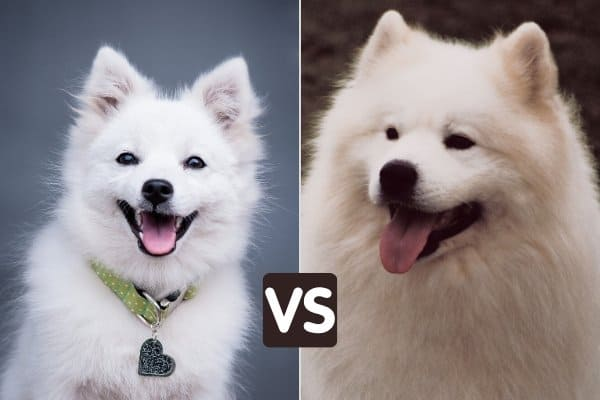 A Japanese Spitz on the left, and a Samoyed on the right.