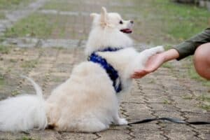 Japanese Spitz with a blue harness offering a paw to his owner.