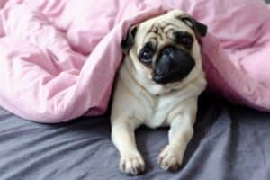 Pug puppy in bed under a pink blanket.