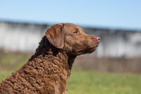 Chesapeake Bay Retriever in profile sitting outside.