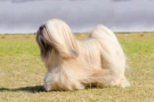 A cream Lhasa Apso in full coat with a stormy, gray sky in the background.