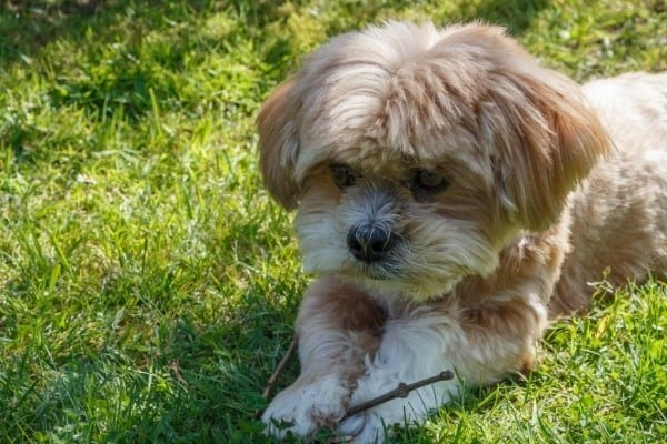 Adorable golden Lhasa Apso puppy holding a small stick.