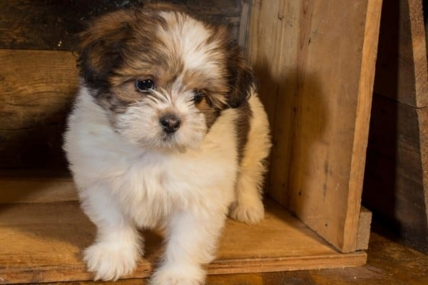 A tiny brown and white Lhasa Apso puppy standing in an overturned crate.