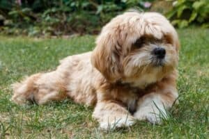 A Lhasa Apso with a short haircut lying on the grass.