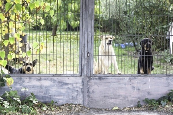 Three guard dogs on alert behind gate.