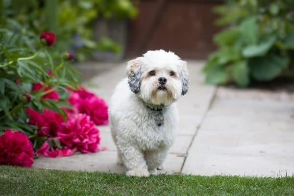 A white Lhasa Apso with a short haircut walking past red flowers.
