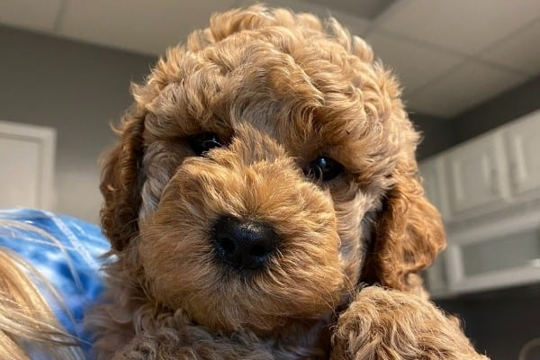 Labradoodle Breeders By State – The Complete List for 2021