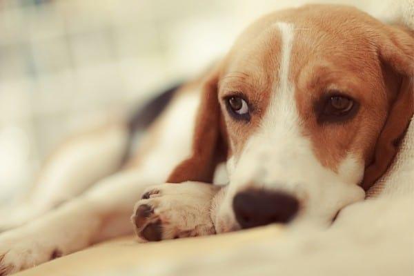 A sick Beagle puppy lying down.
