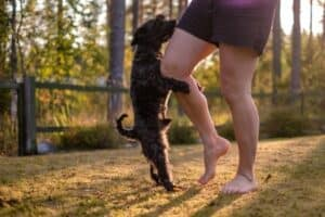 A small black dog attempting to hump a woman's leg.