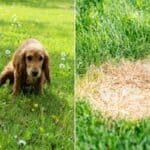 How to Stop Dog Urine From Killing Grass Naturally