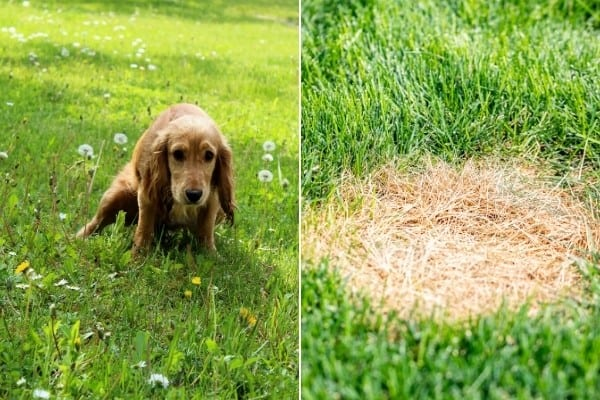 On the left, a female dog urinating. On the right, a round patch of dead grass.