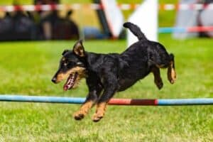 A Jagdterrier clearing a jump pole in a competition.