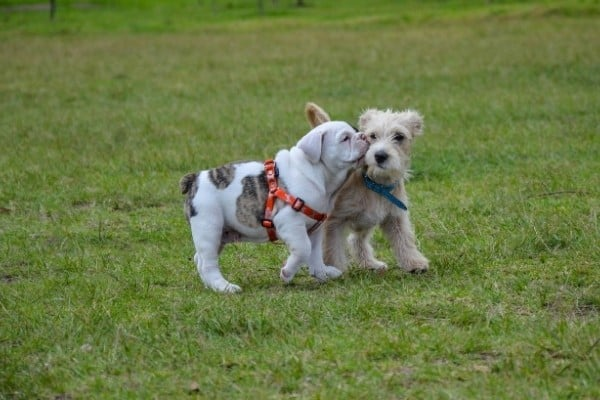 A Bulldog puppy giving a Terrier puppy a kiss as they walk side by side.