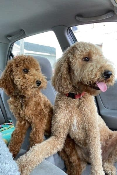 My two Labradoodles Oliver and Miles in the car