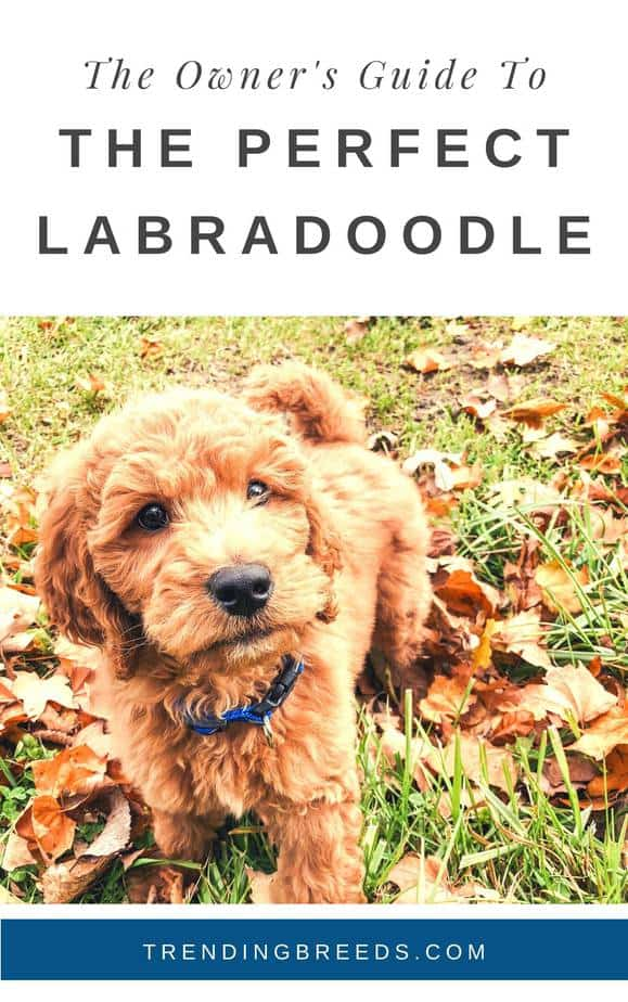The Ultimate Labradoodle Guide