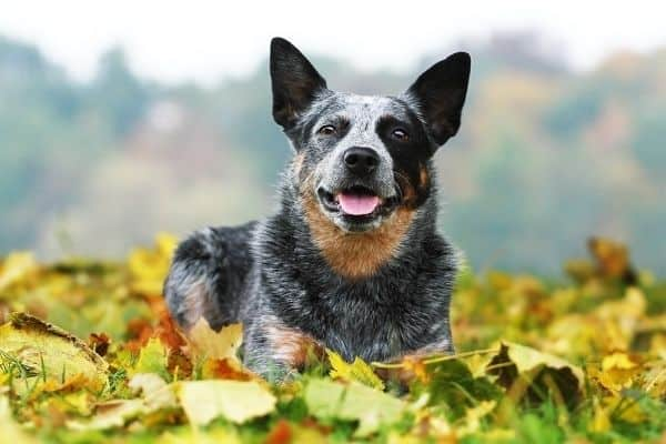 An Australian Cattle Dog lying on the grass surrounding by colorful autumn leaves.