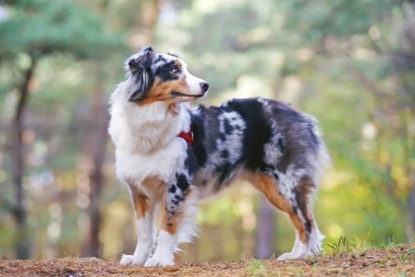 A tri-colored Australian Shepherd standing on a trail in the woods.