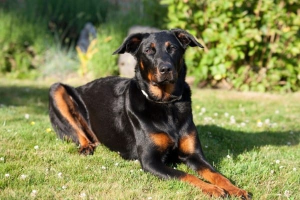 A black Beauceron with rust markings lying on the grass.