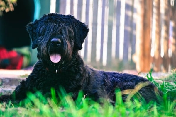 Bouvier des Flandres lying in the grass in front of a barn.