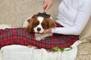 A Cavalier King Charles Spaniel lying on a woman's lap while being brushed.